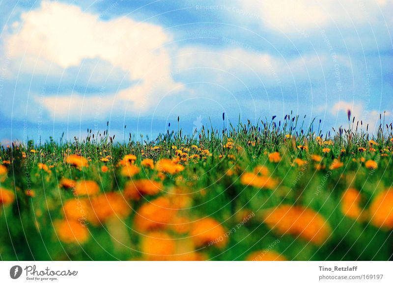 summer meadow Colour photo Exterior shot Day Nature Landscape Sky Beautiful weather Foliage plant Wild plant Meadow Blossoming Summer Dandelion Blue sky Grass