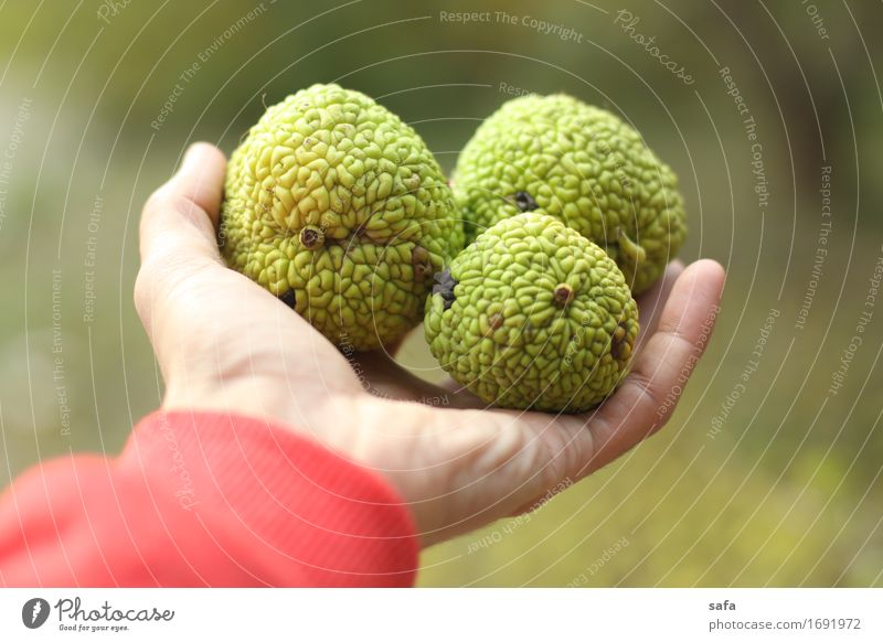 Maclura Pomifera Fruit Fig Tourism Hand Fingers Nature Plant Sweater Touch To hold on Carrying Fresh Healthy Natural Original Clean Green Red Grateful