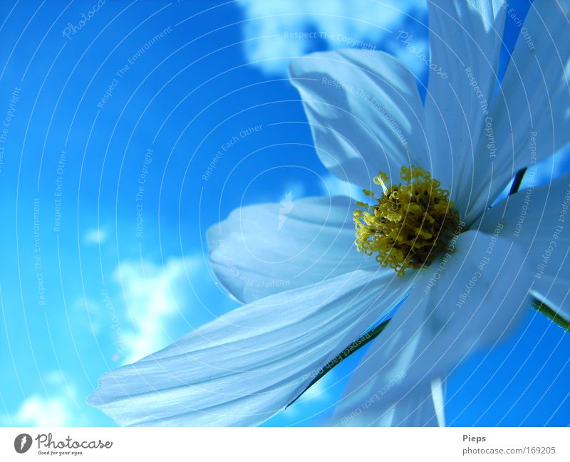 Sky White Flower Blue Plant Clouds Blossom Spring Transience Blossoming Beautiful weather Blossom leave Spring fever Cosmos Pentecost