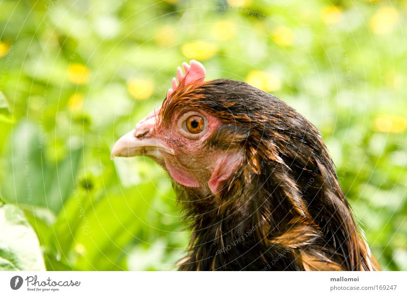 Nature Eyes Meadow Observe Watchfulness Pet Motionless Beak Organic farming Barn fowl Farm animal Crest Poultry Fix