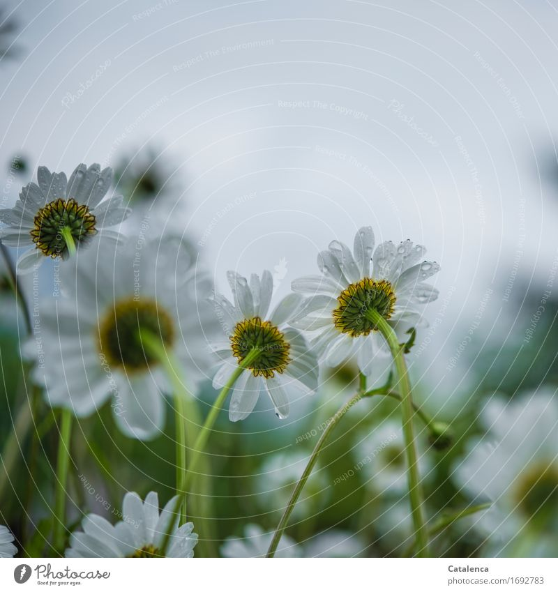 Nature Plant Summer Green White Flower Yellow Blossom Meadow Gray Rain Glittering Growth Elegant Drops of water Blossoming