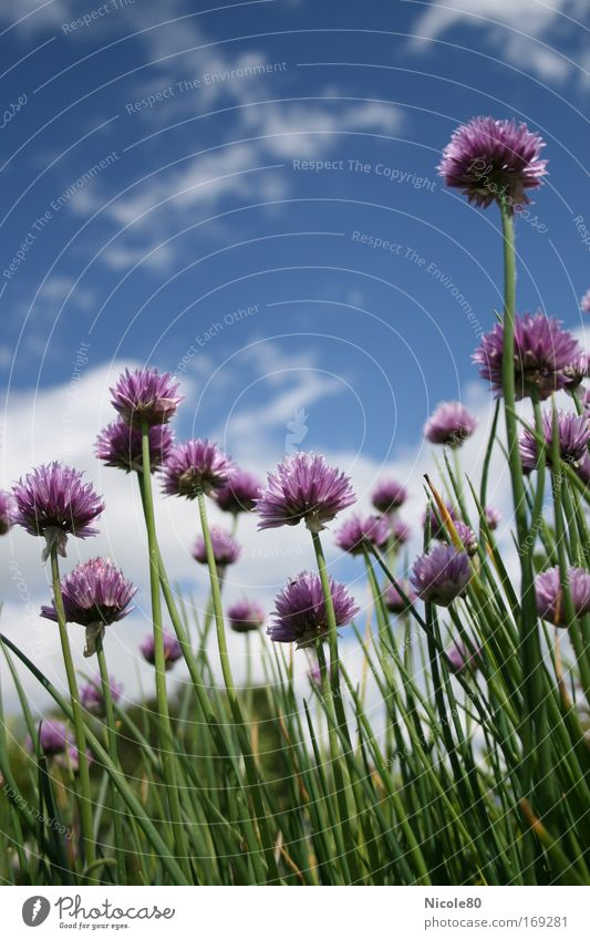 Nature Flower Plant Relaxation Food Environment Perspective Idyll Herbs and spices Chives Agricultural crop