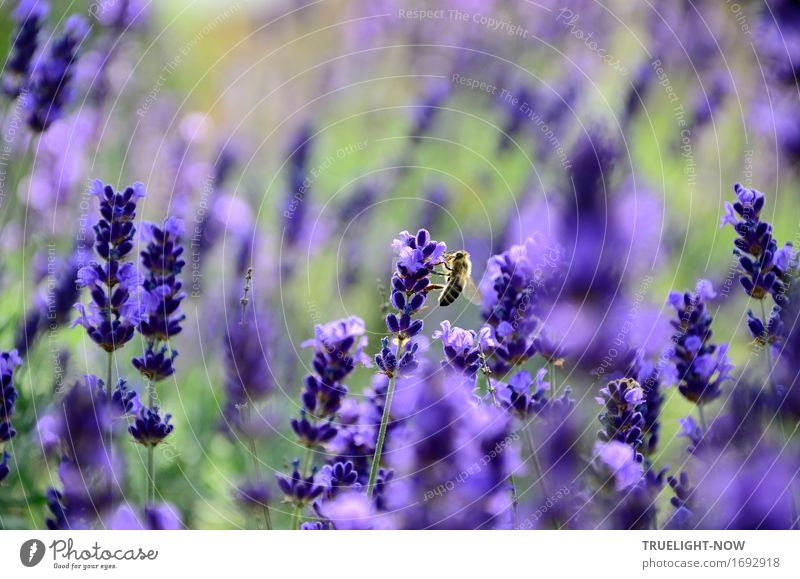 Fluffy ...in the lavender rush Nature Plant Sunlight Summer Climate Climate change Beautiful weather Warmth Flower Leaf Blossom Foliage plant Agricultural crop
