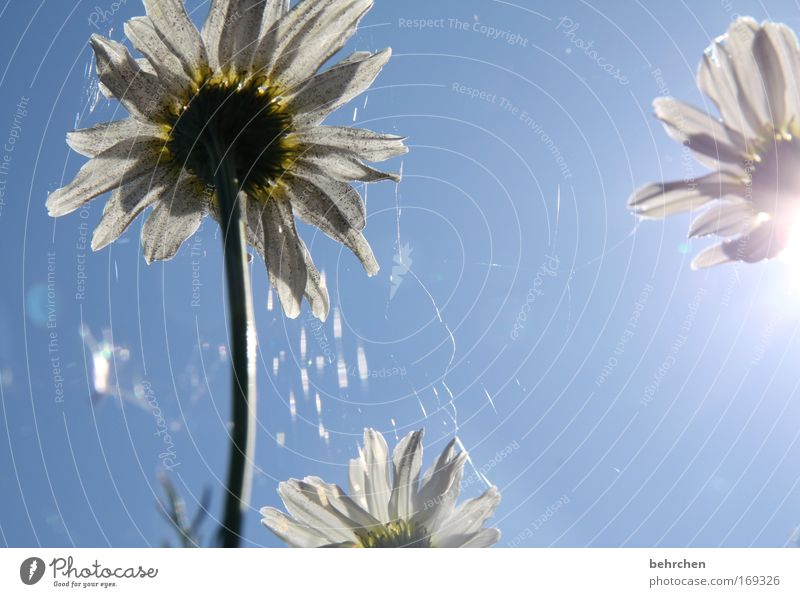 Nature Blue Plant Blossom Field Environment Tea Blossoming Beautiful weather Net Spider's web Food Chamomile Medicinal plant Cloudless sky Wild plant