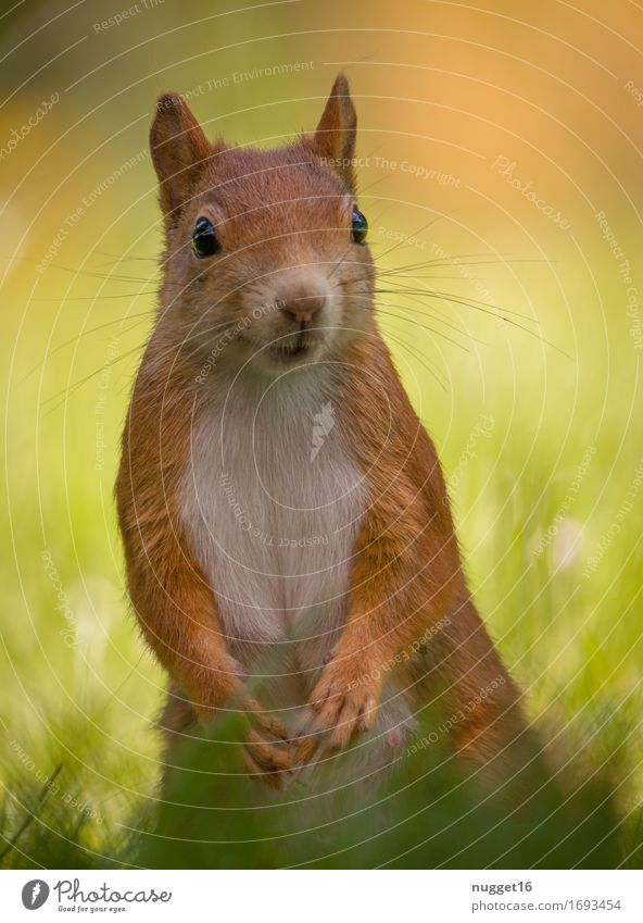my little friend Nature Animal Grass Garden Park Meadow Wild animal Pelt Claw Paw Squirrel 1 Baby animal Observe Sit Authentic Friendliness Happiness Natural