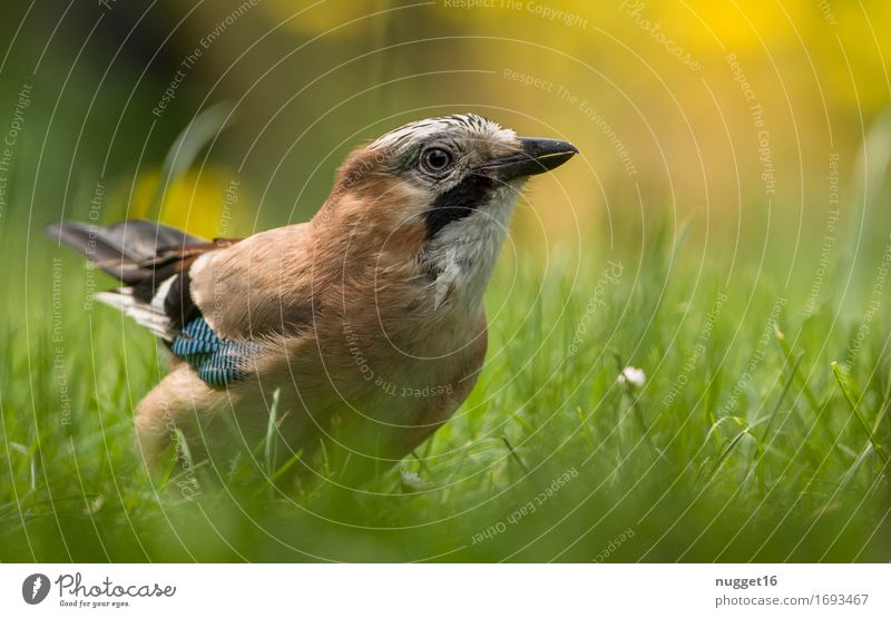 jays Animal Grass Garden Park Meadow Wild animal Bird Wing Jay 1 Observe Flying Esthetic Authentic Brash Blue Brown Yellow Green Orange Black White Spring fever