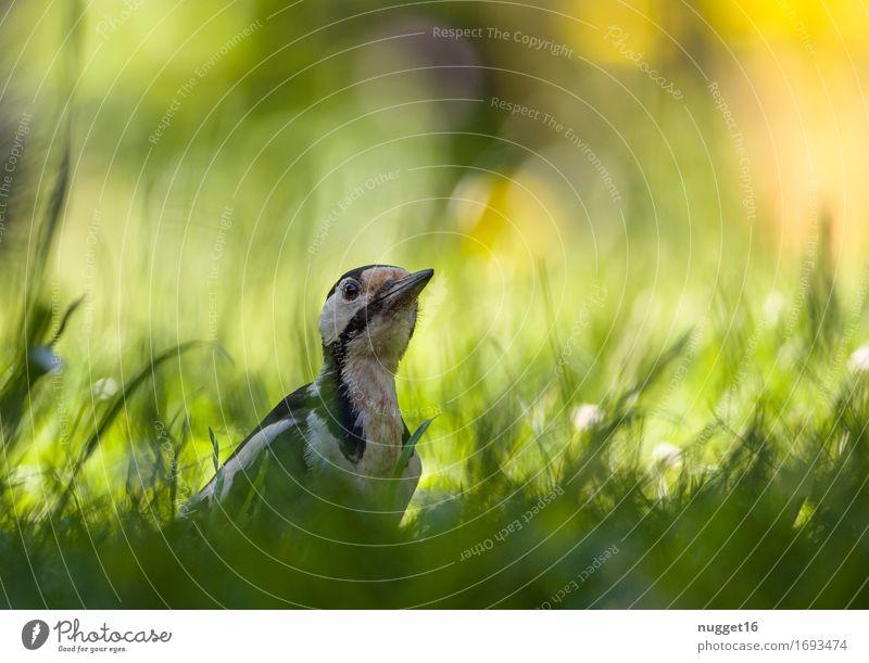 great spotted woodpecker Animal Sunlight Spring Summer Grass Garden Park Meadow Wild animal Bird Spotted woodpecker 1 Observe Flying Esthetic Yellow Green