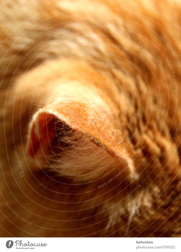 eavesdropping attack Colour photo Close-up Detail Pet Cat Pelt Ear Love of animals Domestic cat Listening Honey favourite animal To enjoy Purr Well-being