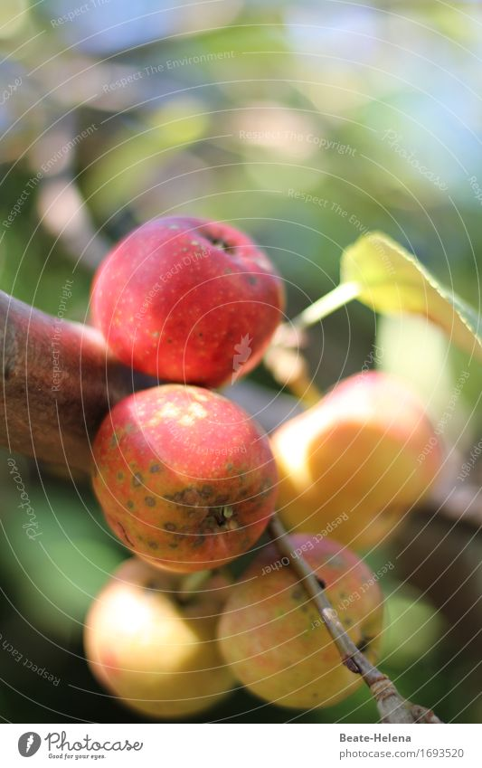 Nature Plant Green Tree Red Yellow Eating Autumn Lifestyle Healthy Food Fruit Fresh Discover Harvest Apple
