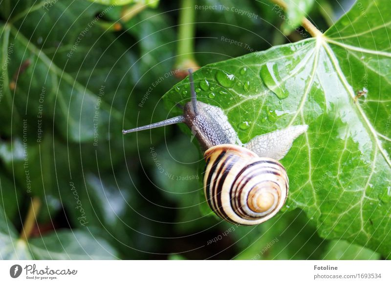 high Environment Nature Plant Animal Elements Water Drops of water Summer Ivy Garden Park Snail 1 Small Near Wet Natural Yellow Gray Green Snail shell Crawl
