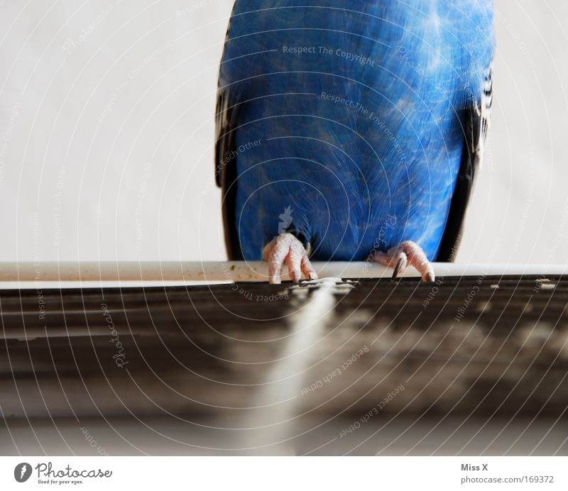Blue Animal Bird Animal foot Poverty Flying Sit Feather Wing Thin Zoo Captured Pet Brash Parrots Grating