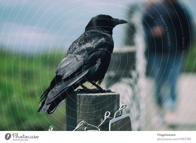 Animals in America [3] Raven birds Crow Bird USA Americas National Park Flying Freedom Black Stony Rock Wait Sit Beak Feather Wing Looking Loneliness Individual