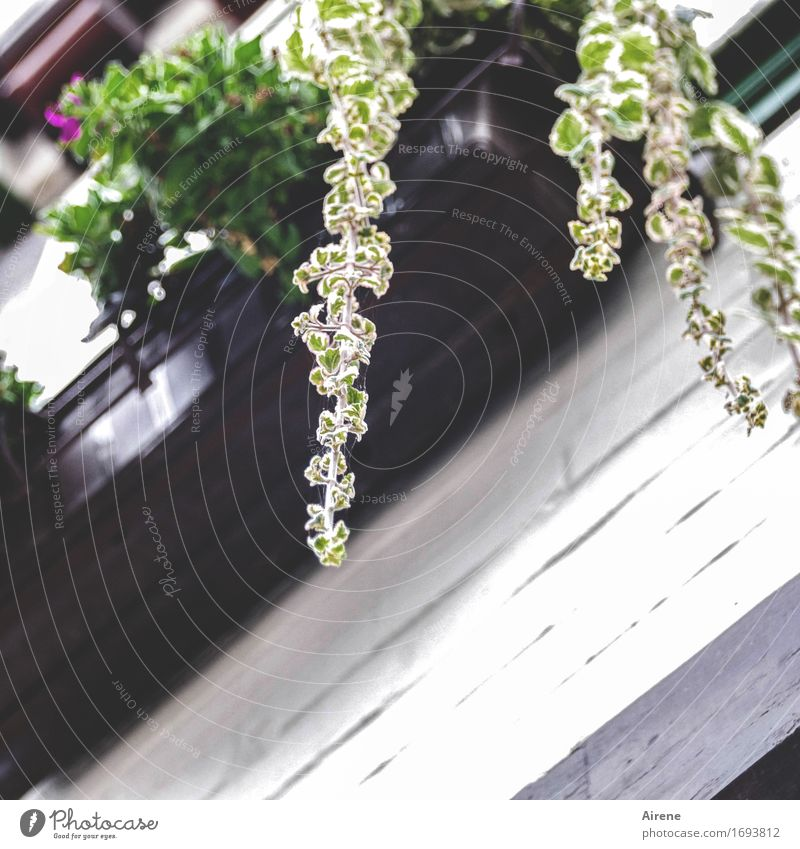 condescendingly Plant Leaf Foliage plant Window box Droop Geranium Balcony Hang Growth Under Brown Green Colour photo Exterior shot Deserted Copy Space bottom