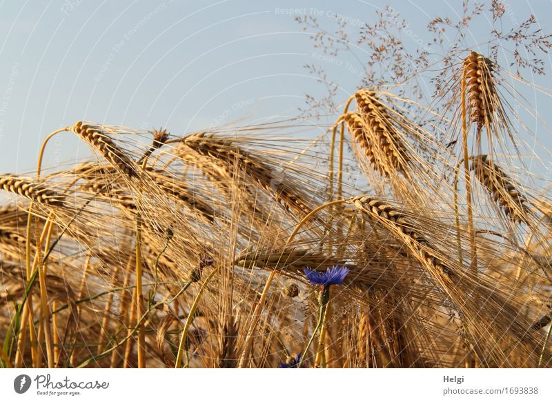 ...in the cornfield Environment Nature Landscape Plant Cloudless sky Summer Beautiful weather Flower Grass Blossom Agricultural crop Barley Cornflower