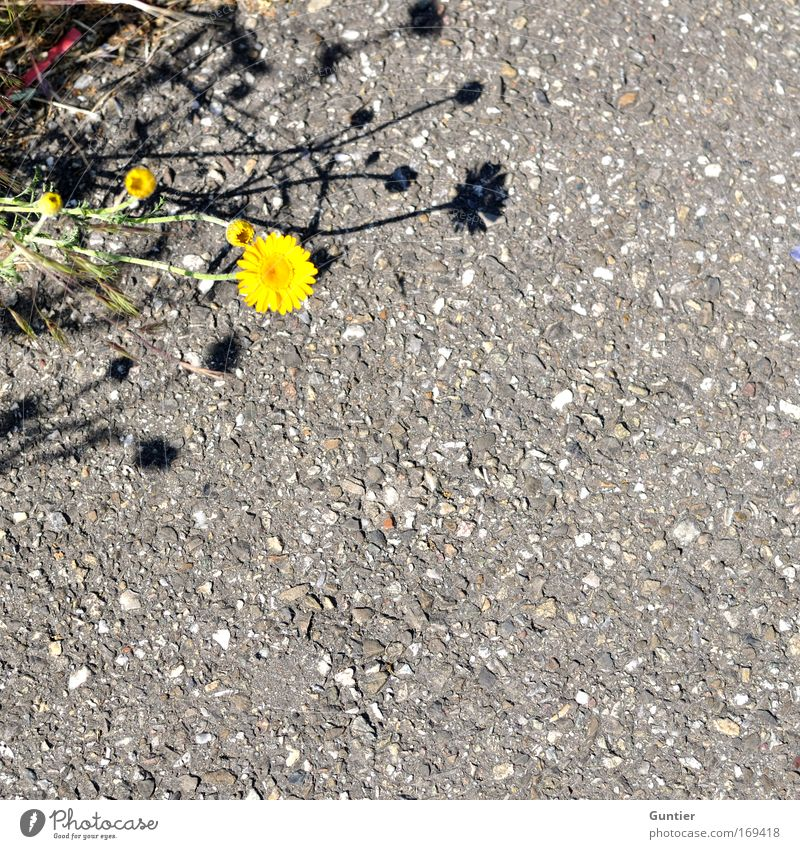 Nature Flower Green Plant Yellow Street Blossom Gray Park Earth Crazy Asphalt Foliage plant Roadside Wild plant