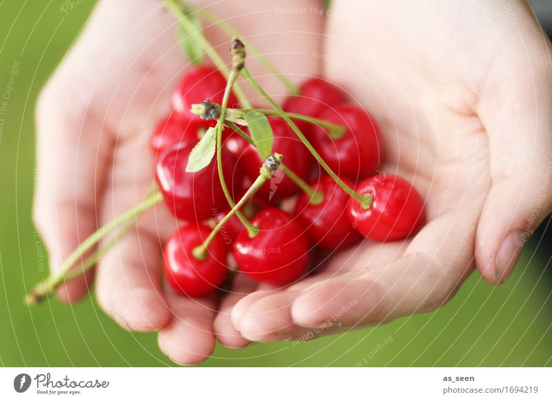 cherry harvest Food Fruit Jam Cherry Nutrition Picnic Organic produce Vegetarian diet Healthy Wellness Life Garden Thanksgiving Infancy Hand Environment Nature
