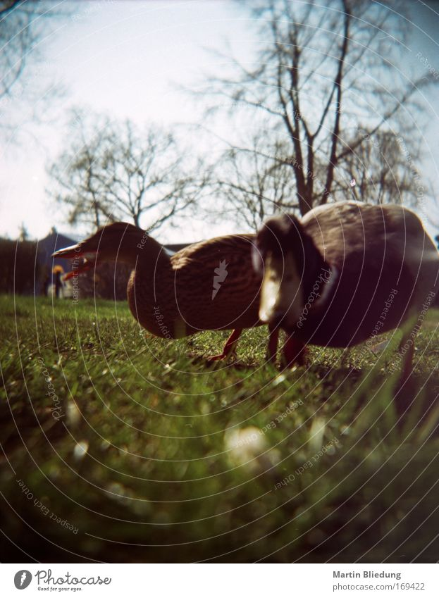 breadcrumb perspective Animal Wild animal Duck Duck birds 2 Feeding Curiosity Under Blue Green Attachment Lawn Colour photo Close-up Lomography Day Sunlight