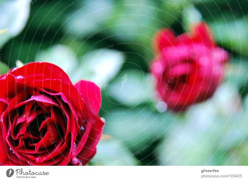 Beautiful Flower Green Plant Red Calm Style Blossom Happy Park Rain Drops of water Rose Happiness Esthetic Decoration