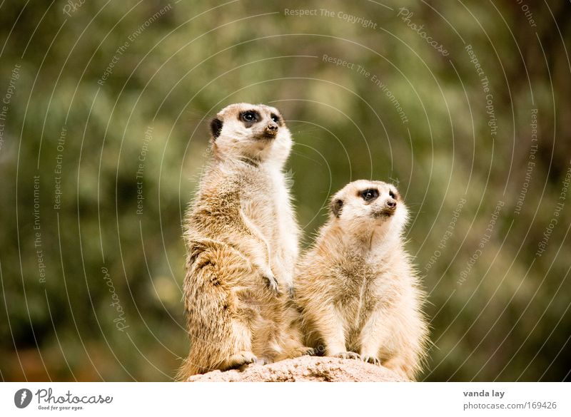 Animal Funny Sit Pair of animals Wild animal Stand In pairs Observe Curiosity Africa Zoo Optimism South Africa Meerkat Animal family