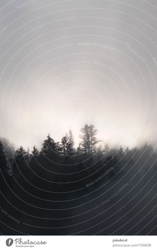Strange, wandering in the fog. Nature Air Sky Sunlight Fog Tree Coniferous trees Coniferous forest Spruce Forest Hill Slope Point Threat Dark Bright Above
