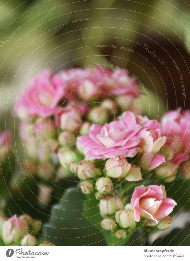Flower Plant Blossom Pink Happiness Fragrance Positive Houseplant Pot plant