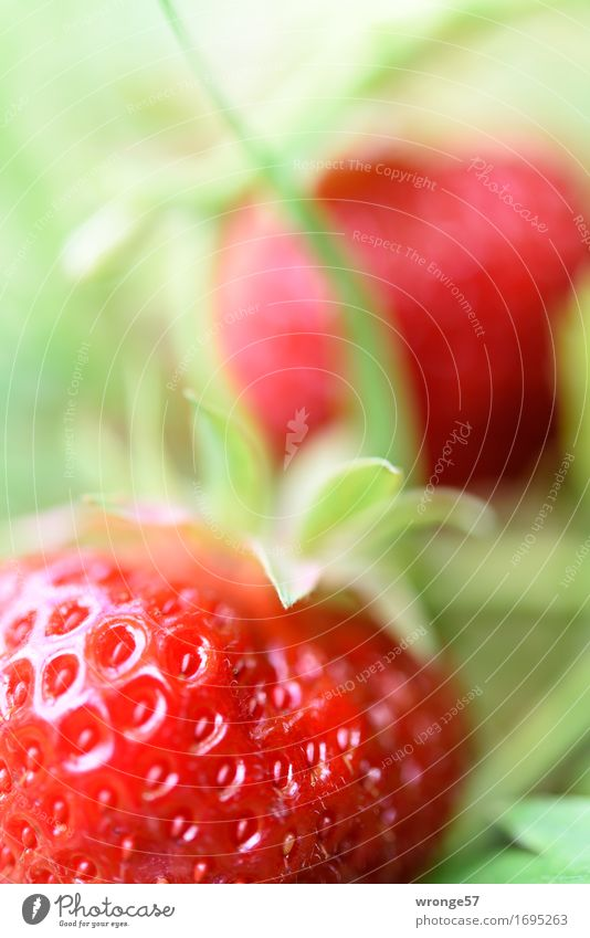 Freshly harvested | last strawberries Food Fruit Strawberry Nutrition Organic produce Vegetarian diet Summer Garden Field Healthy Glittering Juicy Sweet Green