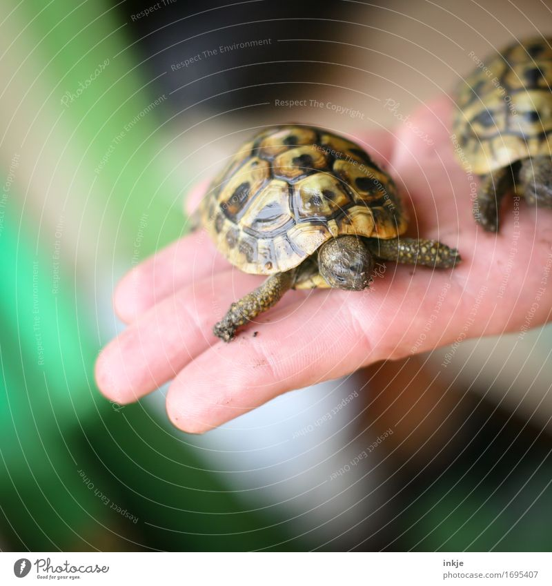Greek tortoise children Hand Palm of the hand Animal Pet Tortoise Turtle Tortoise-shell 1 2 Pair of animals Baby animal To hold on Exceptional Small Protection