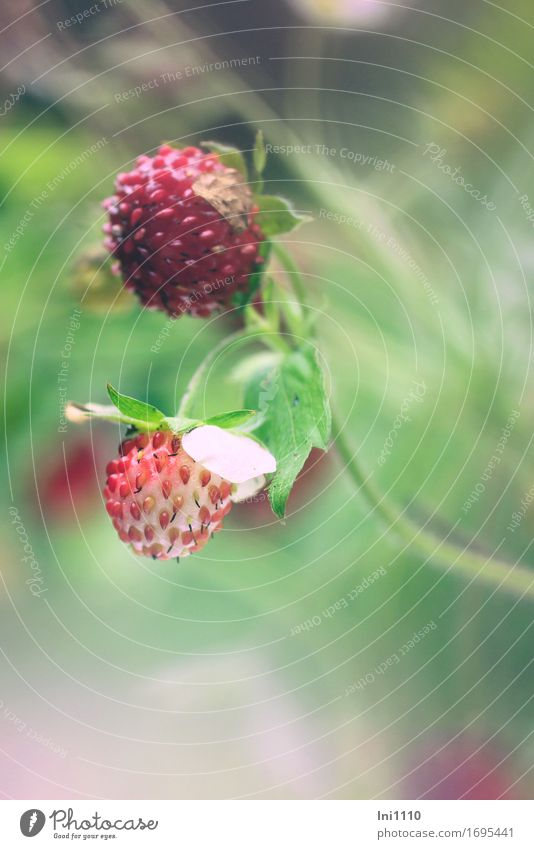 wild strawberry Nature Plant Summer Beautiful weather Warmth Leaf Wild plant Wild strawberry Garden Park Field Forest Fragrance Small Juicy Yellow Gray Green