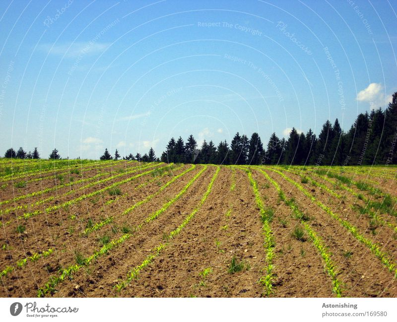 """in rank and file!!"" Environment Nature Landscape Earth Sand Sky Summer Beautiful weather Plant Tree Grass Agricultural crop Field Forest Hill Growth Blue Brown"