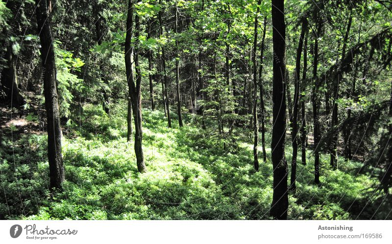 Nature Tree Green Plant Summer Calm Leaf Black Forest Landscape Weather Environment Growth Bushes Branch Tree trunk