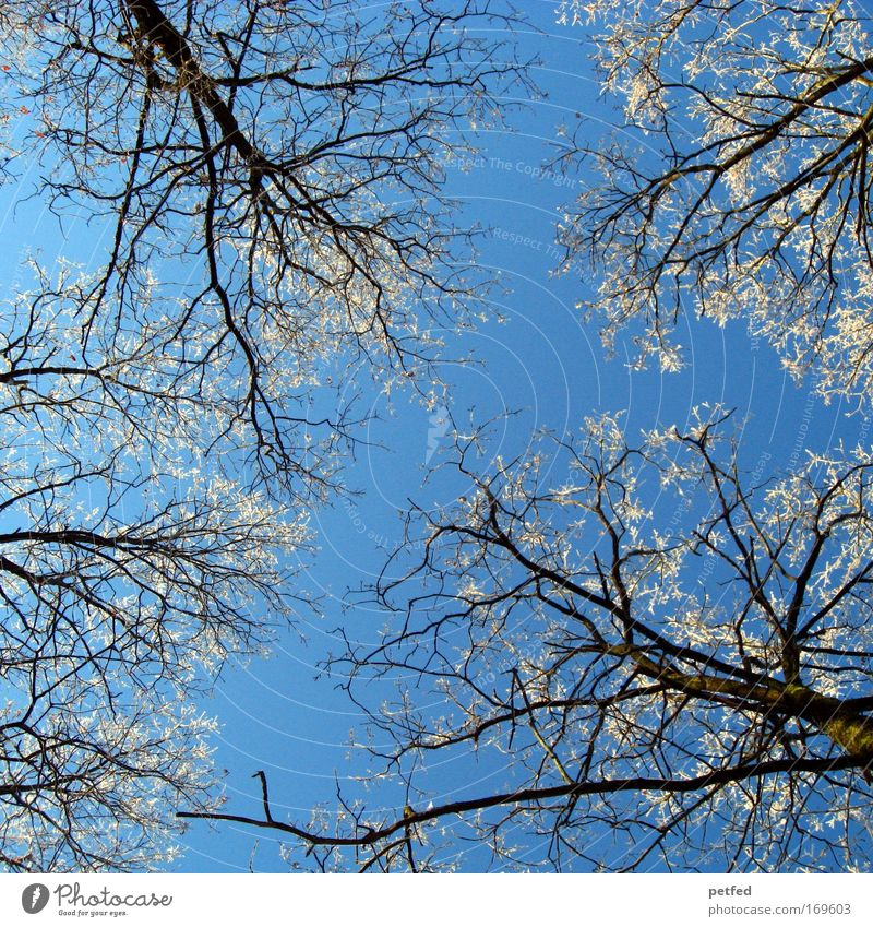 Sheaaf cold? Sky Ice Frost Tree Forest Freeze Cold Blue White Winter Colour photo Exterior shot Deserted Day Worm's-eye view Upward