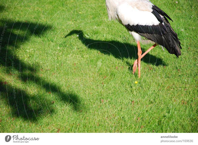 1 1/2 stork Colour photo Exterior shot Day Shadow Sunlight Nature Animal Spring Summer Beautiful weather Grass Foliage plant Park Meadow Field Wild animal Bird