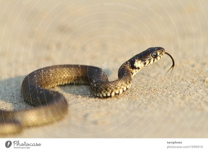 grass snake, juvenile on sand Nature Youth (Young adults) Animal Beach Black Grass Small Sand Wild Fear Ground Living thing Curve Crawl Snake Reptiles