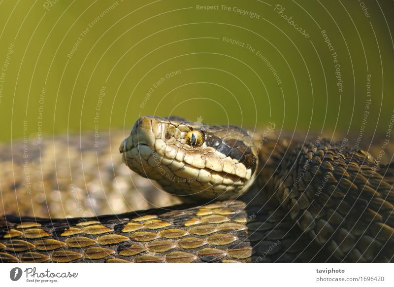 macro portrait of vipera ursinii Woman Nature Beautiful Animal Adults Meadow Small Brown Wild Fear Dangerous Photography European Poison Snake Reptiles