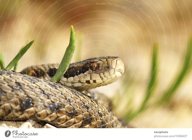the meadow viper Beautiful Nature Animal Meadow Snake Wild Brown Fear Dangerous adder herpetology Reptiles ursinii vipera Viper wildlife protected poisonous