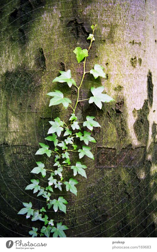Nature Tree Green Plant Leaf Environment Growth Tree trunk Upward Tree bark Ivy Foliage plant Fill Wild plant Freeloader