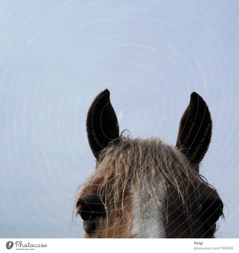 White Blue Eyes Animal Life Freedom Head Brown Power Wet Large Horse Stand Ear Animal face Leisure and hobbies