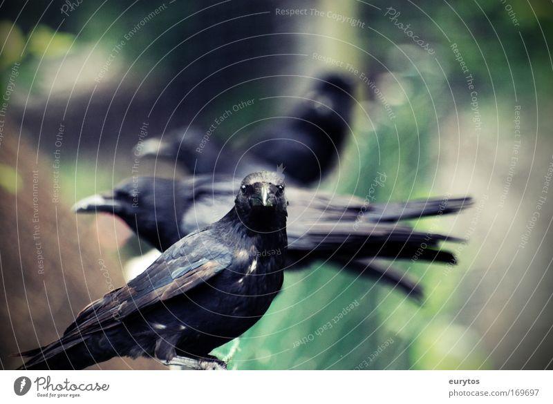 Nature Animal Bird Wild animal Feeding Raven birds