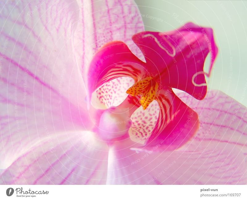 Beautiful White Flower Plant Blossom Pink Elegant Studio shot Leisure and hobbies Violet Decoration Living or residing Uniqueness Exotic Orchid