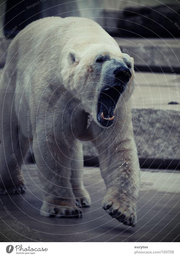 Bear White Animal Fear Dangerous Threat Zoo Wild animal Paw Aggression Environmental protection Muzzle Snout Gigantic Polar Bear