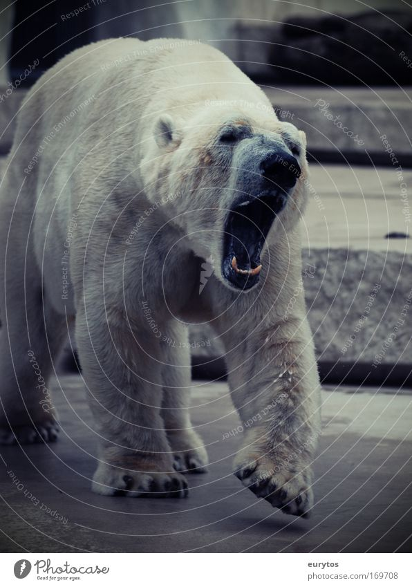 Bear White Animal Fear Dangerous Threat Zoo Wild animal Paw Aggression Environmental protection Muzzle Snout Gigantic Polar Bear