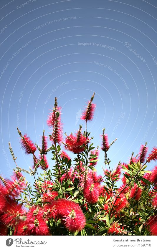 Nature Beautiful Green Blue Plant Red Summer Colour Blossom Bright Bushes Fragrance Beautiful weather Exotic Cloudless sky Callistemon