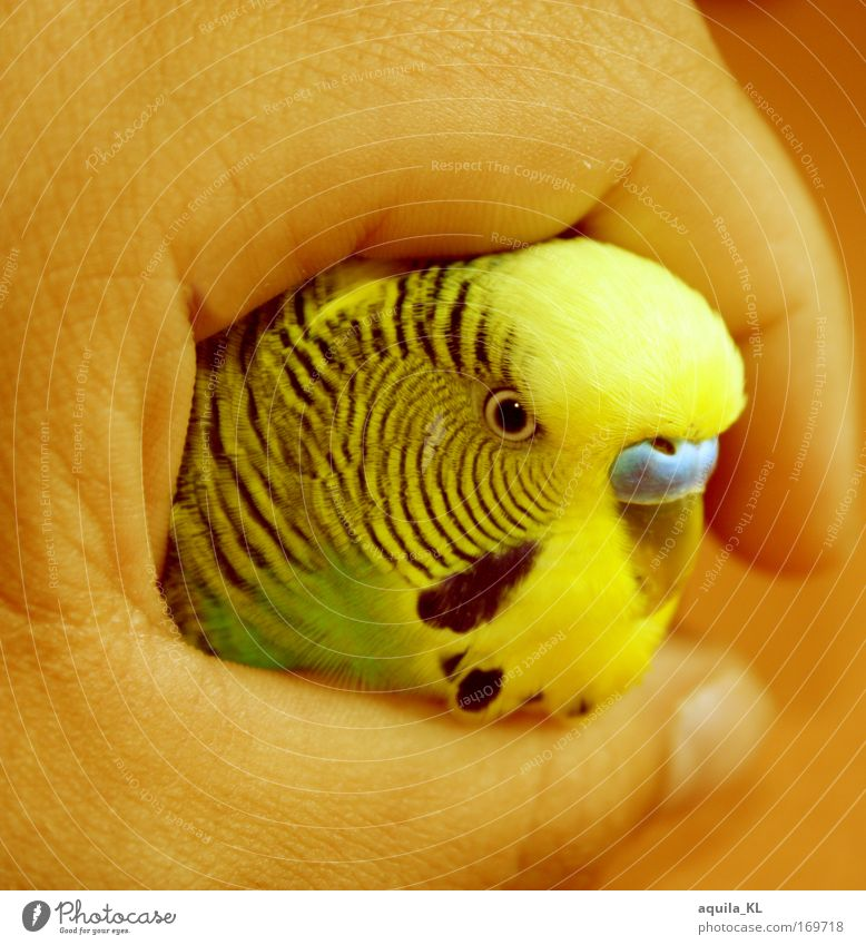 Hand Beautiful Green Eyes Animal Yellow Bird Skin Feather Wild animal Australia Pet Beak Human being Parrots Budgerigar