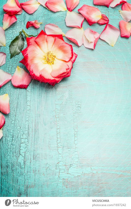 Rose with petals on blue turquoise Shabby Chic background Style Design Summer Feasts & Celebrations Valentine's Day Mother's Day Wedding Birthday Nature Plant