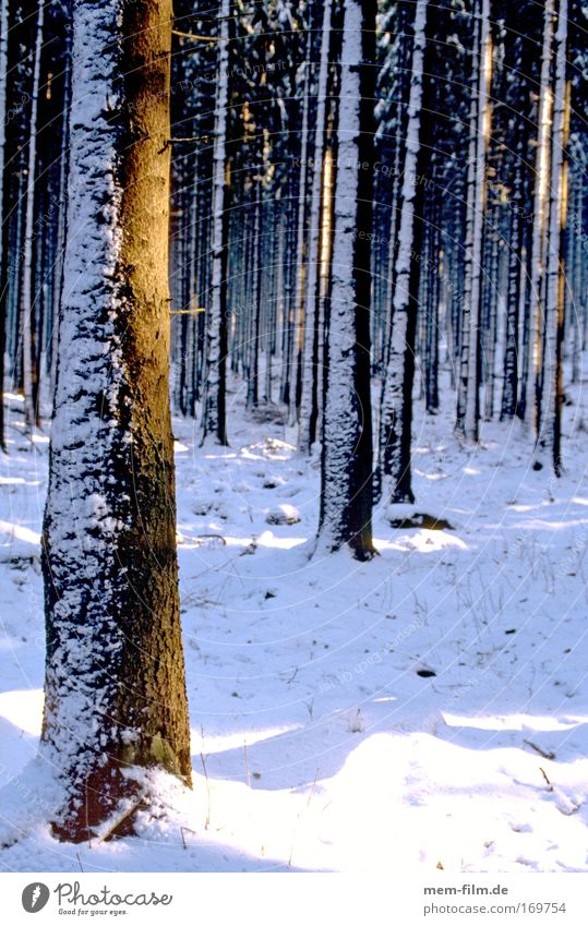 cooling down Forest Winter Sunbeam Tree trunk Snow neuschee Fir tree Radiation Woodground Tree bark Seasons Cold