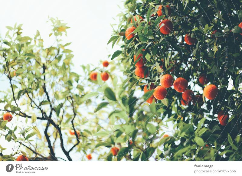 el sur Nature Delicious Orange Orange tree Orange plantation South Barcelona Spain Southern Warmth Beautiful Juicy Dark green Green Fruit Plantation Tree