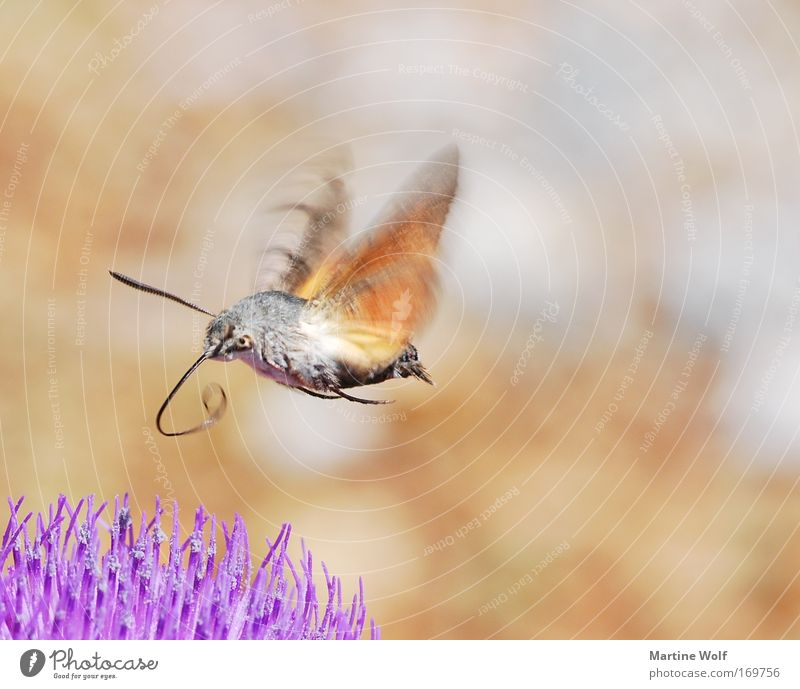 proboscidean Environment Nature Animal Wild animal Wing dovetails Butterfly carp's tail enthusiasts 1 Blossoming Flying Brown Gray Violet Diligent Flower Moth