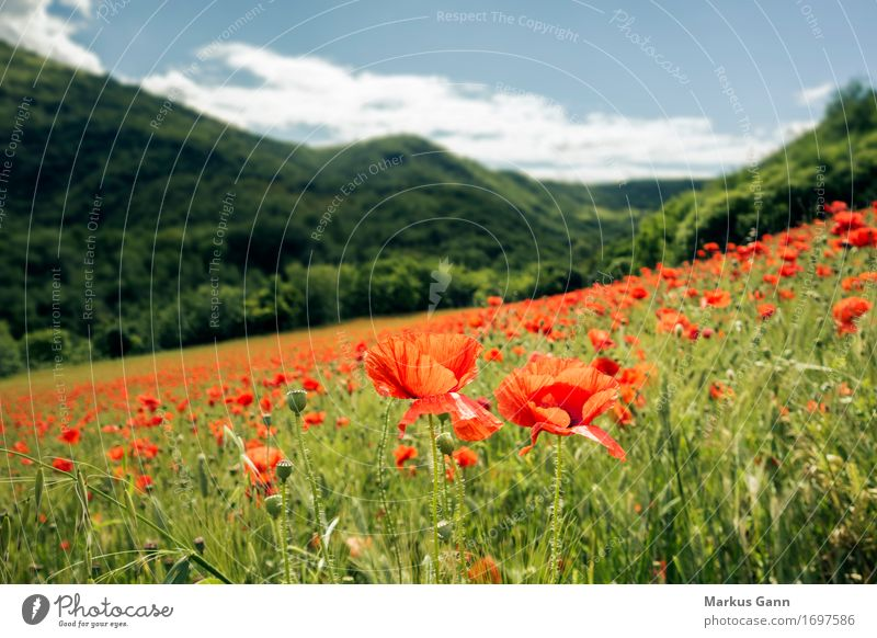 poppy field Summer Nature Landscape Plant Red Italy Field Hill Marche Flower meadow Poppy Poppy blossom Poppy field Green Colour photo Exterior shot Deserted