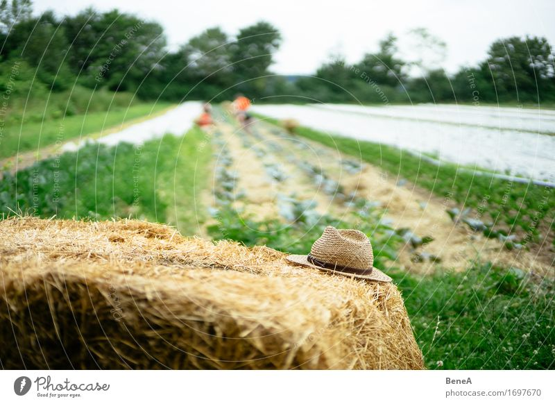 Old hat Work and employment Profession Gardening Farmer Agriculture Forestry Environment Nature Plant Foliage plant Agricultural crop Meadow Field Hat Straw