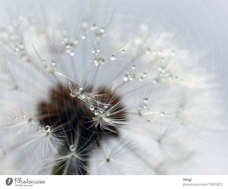 filigree Plant Drops of water Summer Wild plant Dandelion Seed Meadow To hold on Stand Faded Esthetic Authentic Exceptional Uniqueness Small Wet Natural Blue